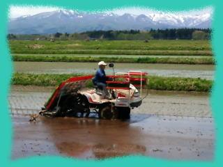 無農薬米、無肥料、田植え